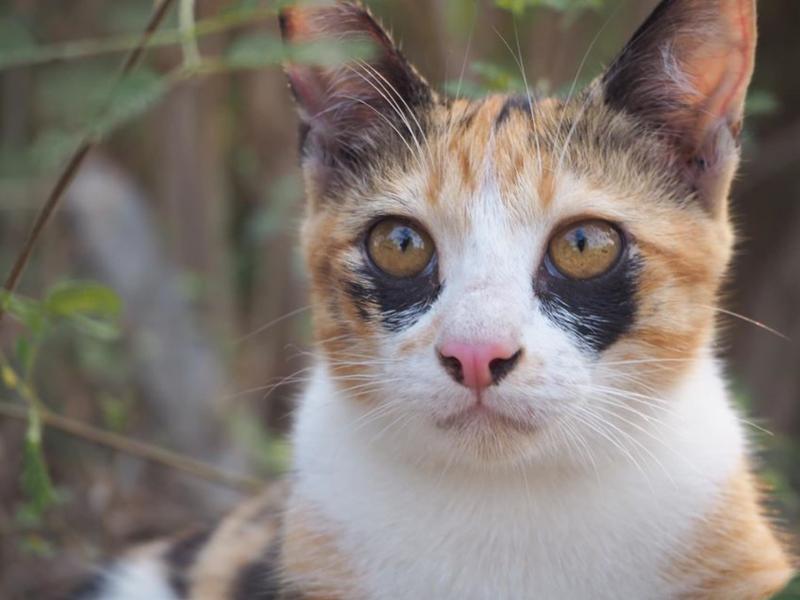 泰國三花貓「黑眼圈」超特別 網全噴笑:熬夜不好啦!