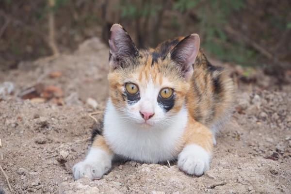 <br> 泰國一名貓友飼養一隻賓士貓與三花貓,其中三花貓Miala天生就有很深的「黑眼圈」(圖/FB@ตื่นแมว)