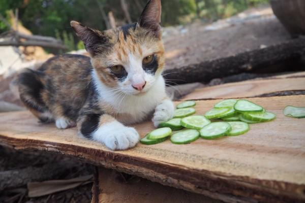 <br> Miala:但是本喵的黑眼圈太明顯了,有人說可以敷小黃瓜淡化黑眼圈,但是怎麼沒用?(圖/FB@ตื่นแมว)