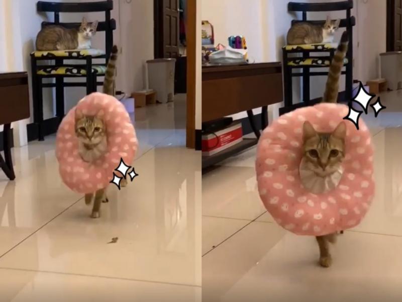 影/貓咪戴羞恥圈 竟「狂野駕馭」超自信搖擺秀台步!