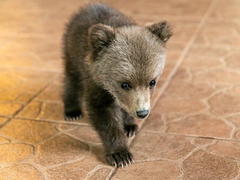 一隻野生小棕熊闖入農夫的農場裡(圖/IG@ sergey_plytkevich)