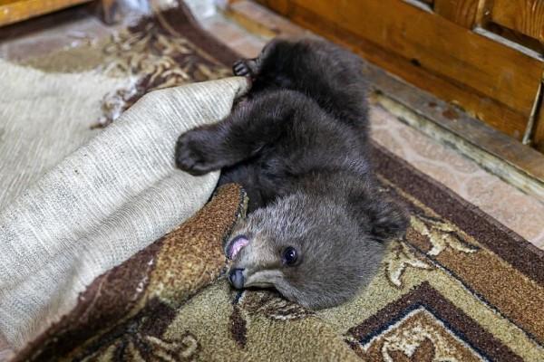 <br> 由於各相關單位均無法接收小熊,尼古拉也擔心小熊野放後無法獨自生存,因此決定先領養牠(圖/IG@ sergey_plytkevich)
