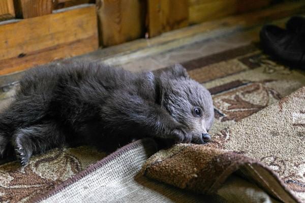 <br> 小熊還得到新名字「Vasilisa」,不怕人的牠一到尼古拉家中就自在地玩耍(圖/IG@ sergey_plytkevich)