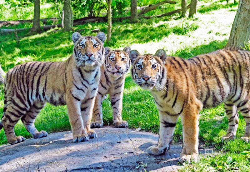 ▲動物園內的老虎。(圖/翻攝自 CBN New York )