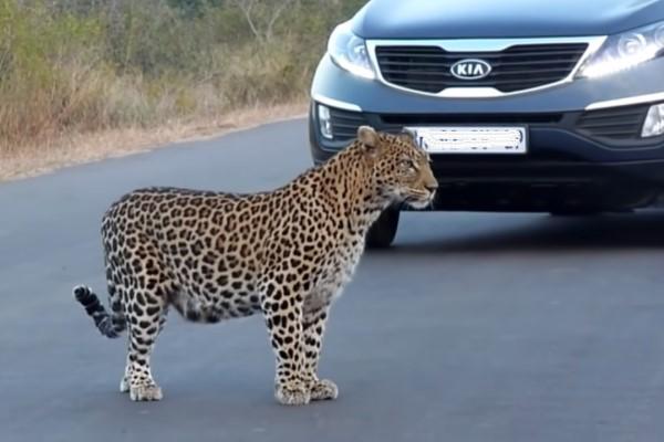 <br> 席那斯一家人發現草叢有一隻花豹媽媽與兩隻小豹,花豹媽走到馬路中間,似乎正在示範如何「安全過馬路」(圖/翻攝自Youtube@Kruger Sightings)
