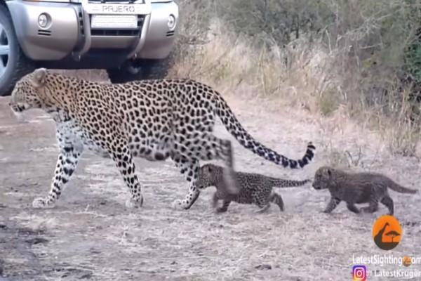 <br> 兩隻小豹立刻屁顛屁顛地跟著花豹媽過馬路(圖/翻攝自Youtube@Kruger Sightings)
