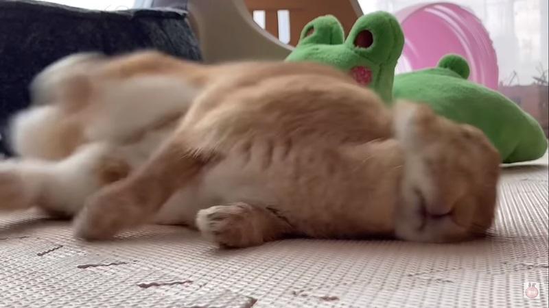 萌兔開睡播腳腳激動亂踹 突驚醒臉擠一團:原來是夢呀~