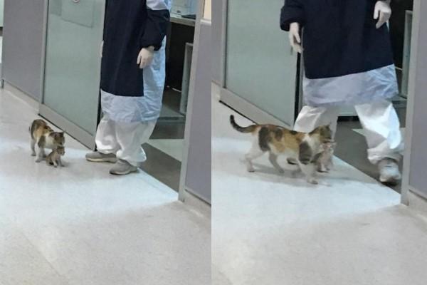 <br> 母貓一看見醫護人員,立刻衝到腳邊尋求關注及幫忙(圖/twitter@ozcanmerveee)