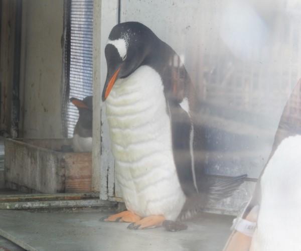 ▲一隻2歲的巴布亞企鵝因為站在牆前沉思而爆紅……(圖/twitter@otarua水族館)