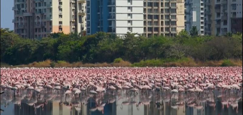 ▲印度孟買重現紅鶴潮。(圖/翻攝自