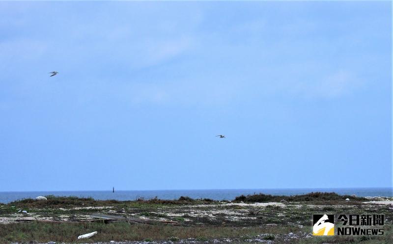 ▲澎澎灘野鳥保育區有多樣性的保育類夏季候鳥,有小燕鷗、蒼燕鷗、鳳頭燕鷗及紅燕鷗等,當我們營造出適合牠們的棲地與環境,就會讓牠們喜歡來到這地方繁殖。(圖/記者張塵攝,2020.05.06)