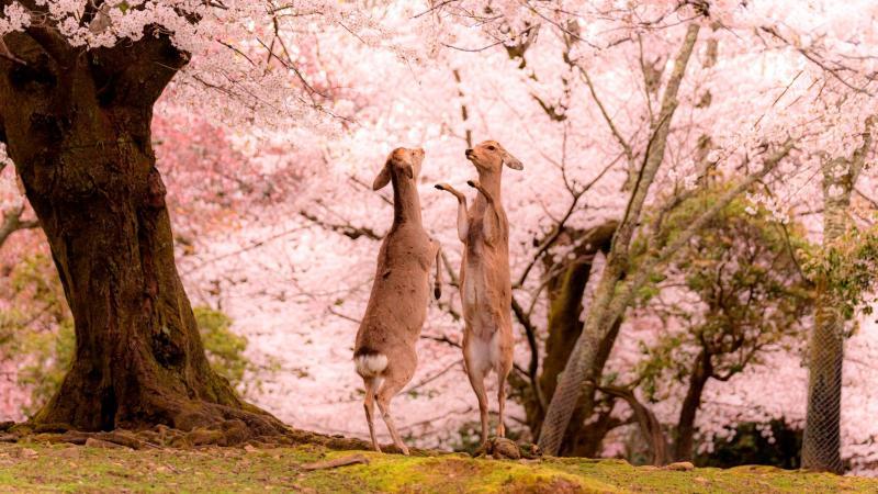 日本攝影師眼中的春之<b>奈良</b> 只有櫻花與鹿的粉色童話仙境