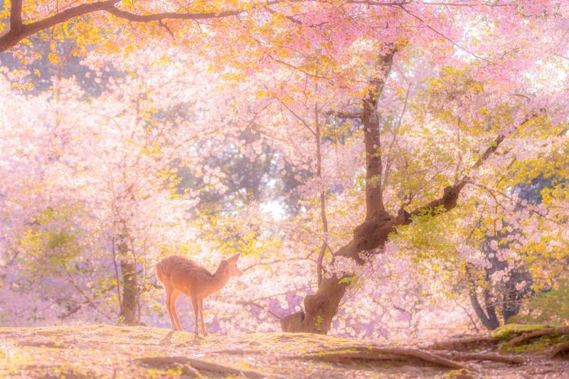 ▲和煦的春光透過粉色花瓣灑落,加上可愛的小鹿,彷彿到達童話裡的仙境。(圖/Twitter@v0_0v______mk)