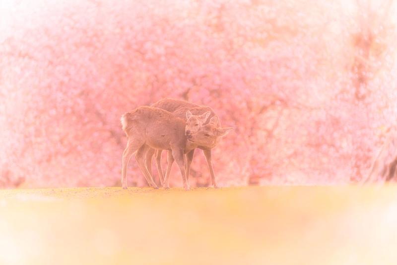 ▲小鹿在一片粉嫩的櫻花中追逐嬉戲,充滿浪漫柔和的療癒感。(圖/Twitter@v0_0v______mk)
