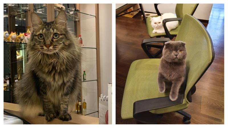 ▲任職於該公司的設計師也大方曬出「貓主管」、「貓面試官」。(圖/翻攝自貓咪也瘋狂)