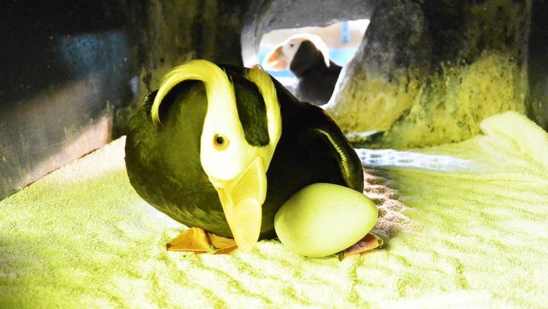 ▲ 輪流孵育小寶寶的「模範雙親」海鸚鵡爸媽。(圖/海生館提供)