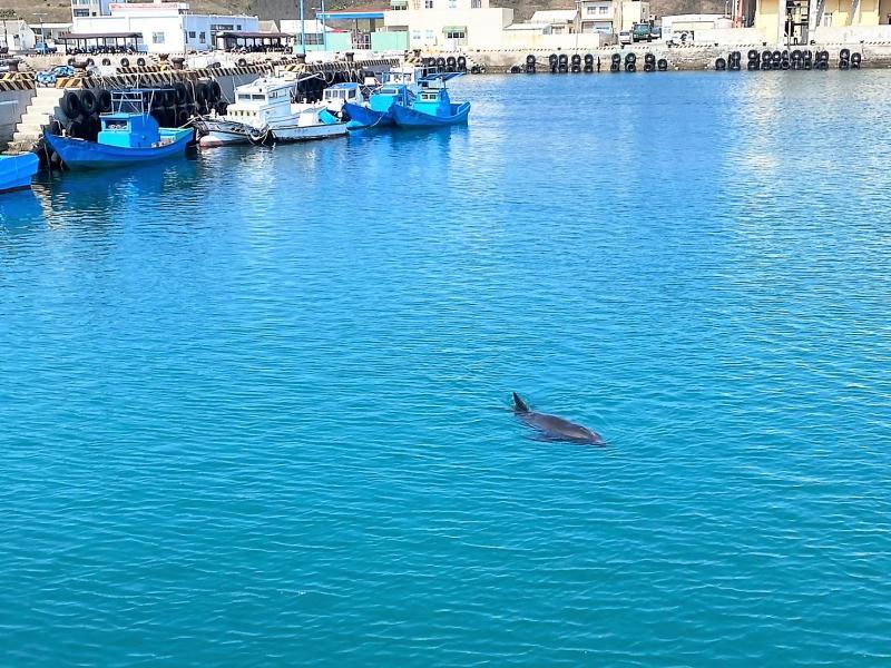 自游3小時離開 <b>瓶鼻海豚</b>迷航游進澎湖望安漁港