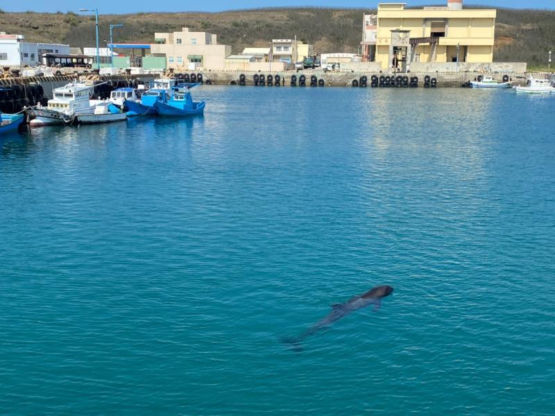 ▲這隻瓶鼻海豚很有可能是因生病造成體力不佳,才會沒跟不上海豚的隊伍,獨自迷航游進望安潭門港之內。(圖/望安民眾提供)
