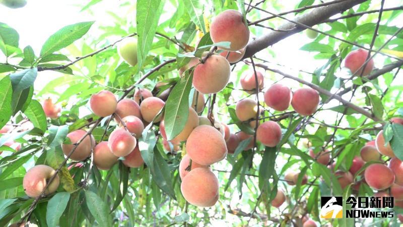 ▲青農王耀寬在距離海邊5公里的農田,種植5顆熱帶水蜜桃,最近果實纍纍。(圖/記者陳雅芳攝,2020.05.10)