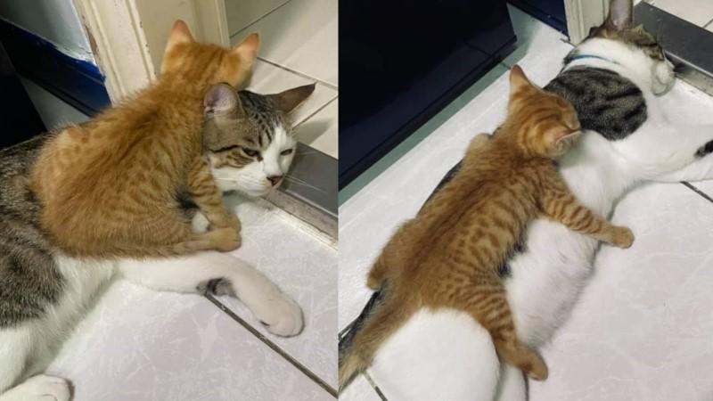 認識2天小橘對貓哥「壁虎抱」 牠放棄掙扎眼神透露一切