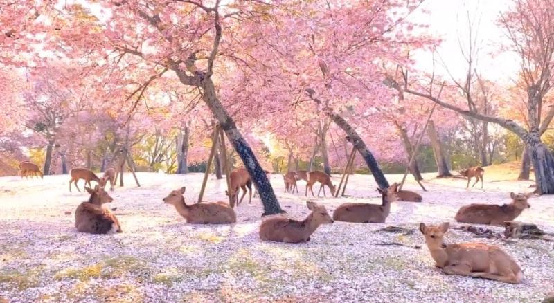 ▲奈良公園內落櫻繽紛,鹿群優游其中,少了遊客後景象更是美如畫。(圖/翻攝自@KikiPhotoWorks的推特)