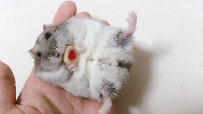 ▲小倉鼠吃零嘴。(圖/Twitter@pipiiii_25)