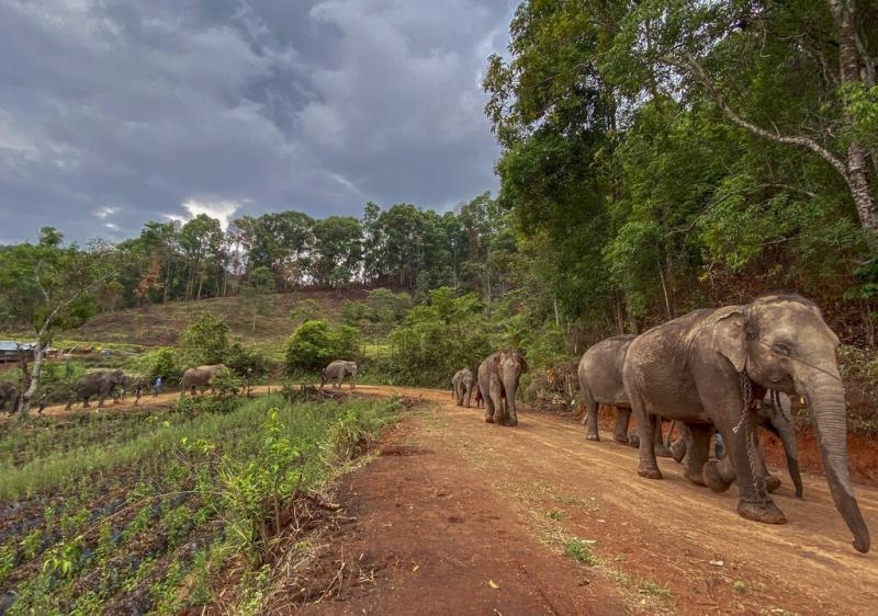 ▲大象徒步回家。(圖/美聯社/達志影像)