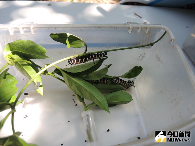 ▲紫斑蝶幼蟲。(圖/記者陳雅芳攝,2020.05.17)