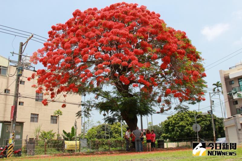▲鳳凰木今年花開得尤其茂盛,是他有印象來最艷麗一次,火紅色的花苞開滿樹冠。(圖/記者陳雅芳攝,2020.05.17)