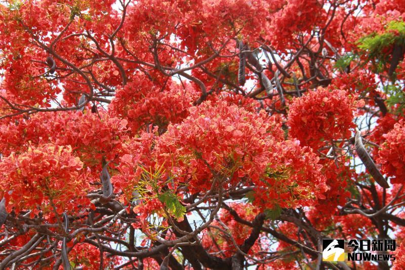 ▲北斗鎮東光里這棵網紅鳳凰花木也有超過80歲的年紀,紅色花苞開滿樹冠。(圖/記者陳雅芳攝,2020.05.17)