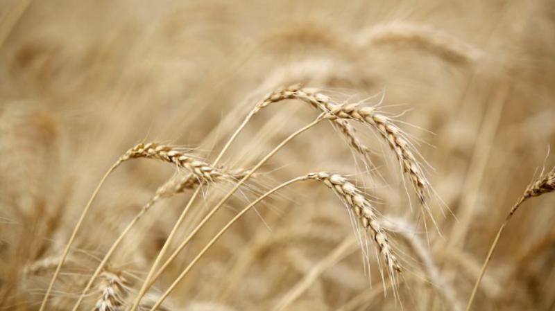 ▲中國商務部自 19 日開始,對澳洲進口大麥徵收逾 80% 的關稅。示意圖。(圖/翻攝自澳洲 7 NEWS )
