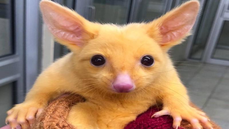 澳洲出現稀有黃金負鼠 網嗨翻:皮卡丘4你?