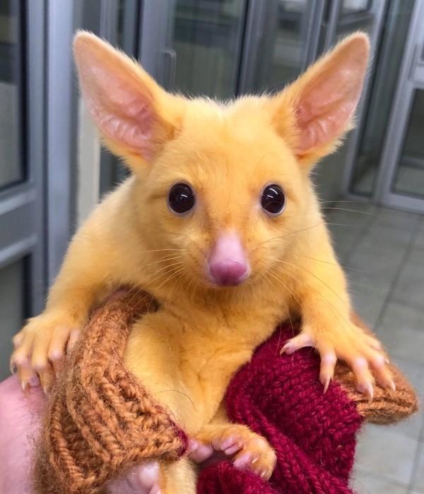 ▲一隻五個月大的黃金負鼠寶寶被人送到墨爾本一間動物醫院(圖/FB@Boronia