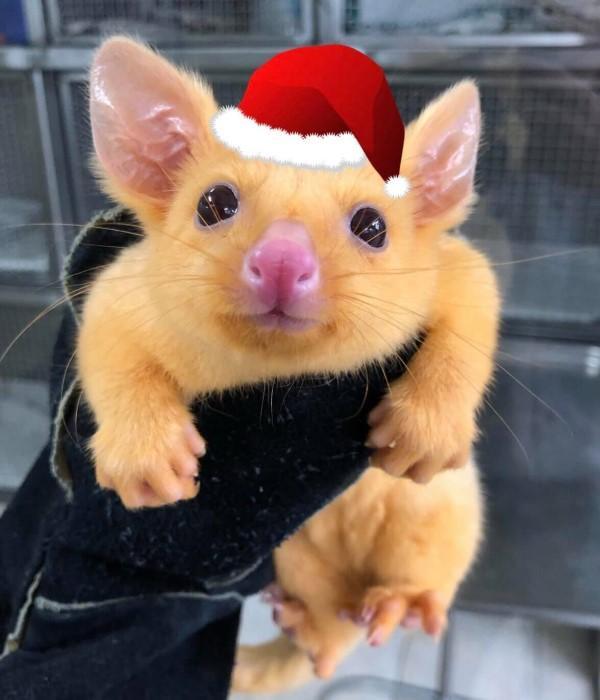 ▲負鼠寶寶:你在看偶嗎?偶有一點害羞!(圖/FB@Boronia