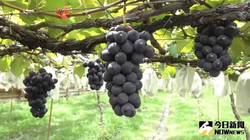 ▲古月葡萄農場長胡志豪把有機栽培導入葡萄園,種出來的葡萄像好茶,有「回甘」的味道,廣受消費者喜愛。(圖/記者陳雅芳攝,2020.05.22)