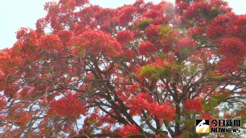 緋紅鳳凰花季 綠意盎然配上巨型花樹格外搶眼