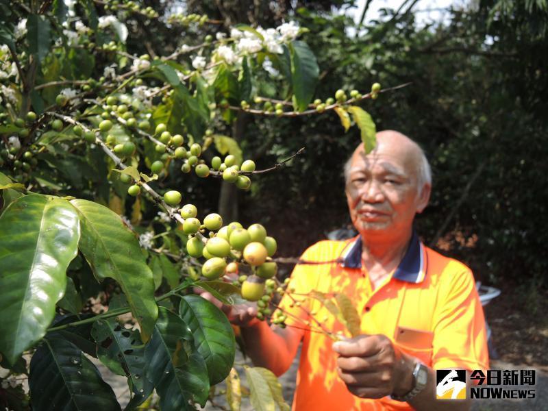 ▲二水鄉八卦山麓成串的咖啡果難逃台灣獼猴「搶」收。(圖/記者陳雅芳攝,2020.05.24)