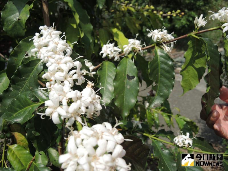 ▲咖啡樹已陸續開花,滿山遍野的咖啡花盛開,花形與散發出香氣,相當清新。(圖/記者陳雅芳攝,2020.05.24)