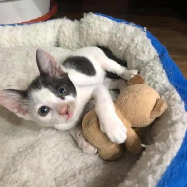 ▲網友Jolene開了一間貓咪咖啡廳,飼養了四隻黑色與白色的貓咪,其中最小的黑白貓「鐵牛(又叫可麗露)」是一隻大難不死的小貓(圖/網友Jolene