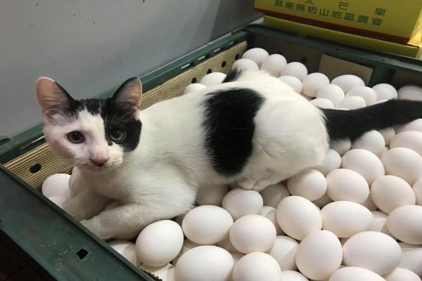 ▲還會幫忙孵雞蛋,只是曾經打破18顆雞蛋、6個盤子以及踩爛2袋生菜,讓馬麻只好罰牠少吃一頓飯!(圖/網友Jolene