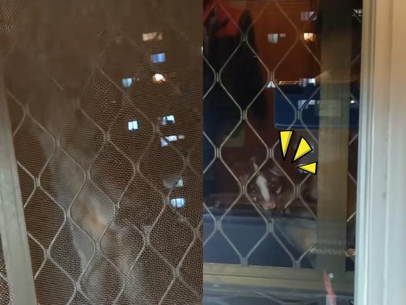 有怪聲!住15樓以為鴿子來亂 竟見白鼻心來打招呼