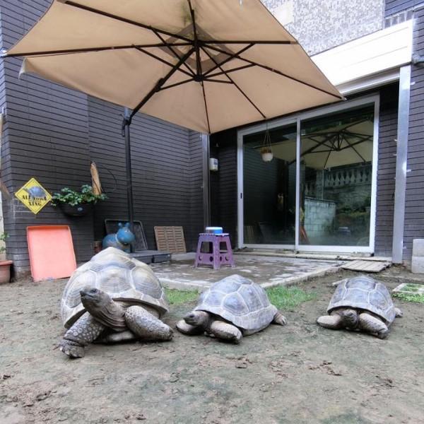▲粉專「漢堡。Hamburg」經常分享象龜「漢堡」、「大堡」、「小堡」的生活日常,其中老大漢堡(左)最喜歡在院子裡閒晃曬太陽(圖/粉專漢堡。Hamburg授權提供)