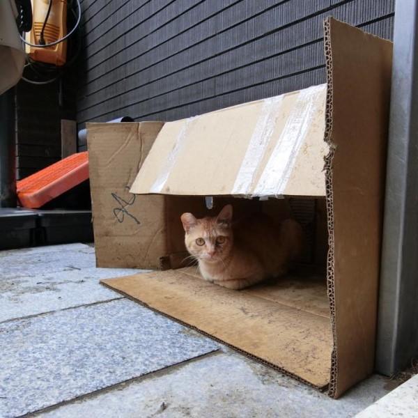 ▲日前一隻浪橘「喵喵」闖入龜龜們的家,牠發現角落的紙箱立刻鑽進去折手手(圖/粉專漢堡。Hamburg授權提供)