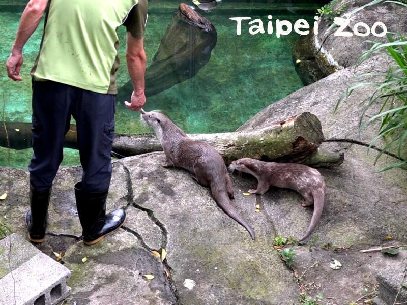 ▲台北市立動物園海獺寶寶「金萌」和暖男「大金」。(圖/台北市立動物園提供)