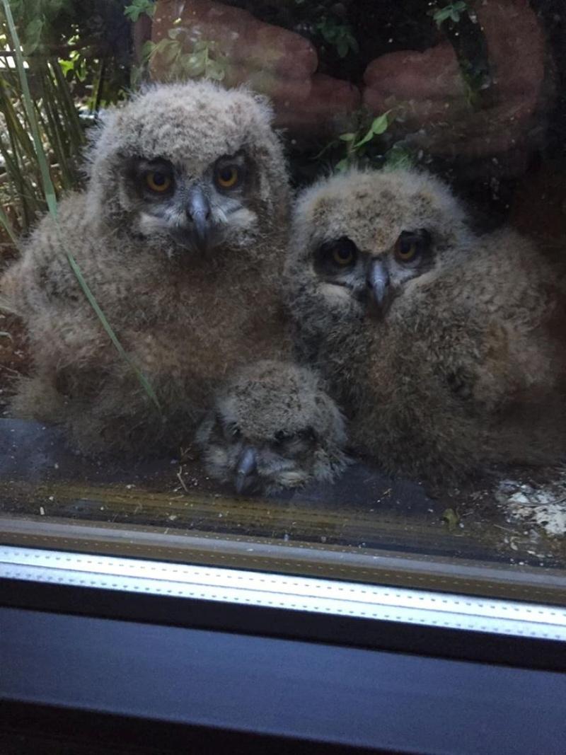 ▲雕鴞媽媽孵出的3隻寶寶體型很大。(圖/Facebook@Jos