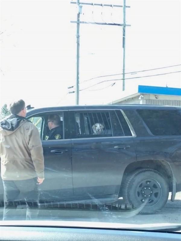 ▲日前主人帶芬恩外出放風時解開牽繩,結果牠竟然狂奔追野鹿因此被警察杯杯逮捕,坐上警車的模樣非常滑稽(圖/twitter@emmethompsonn)