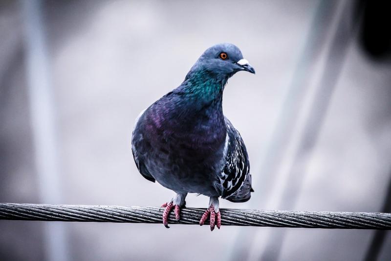 ▲鴿子腳環遭警方認為是間諜傳送密碼的關鍵,因此拘留境內。(示意圖,非當事鴿/翻攝自