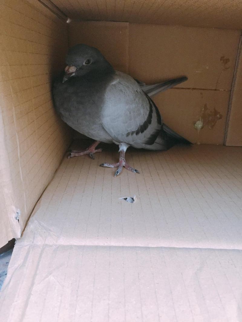 ▲這隻鴿子是小編第一次救援的對象(圖/小編本人)