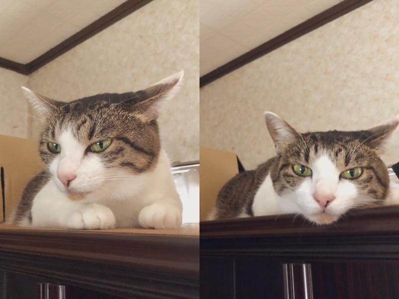 ▲推主@norn292_9養的白底虎斑貓,平時看起來兇兇的,原來對奴才超貼心。(圖/Twitter@norn292_9)