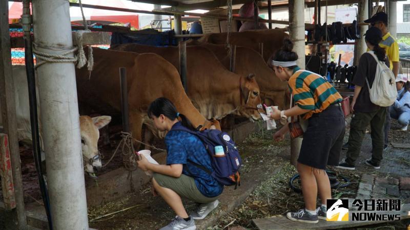 ▲小朋友拿著牧草餵食海牛學校的黃牛。(圖/記者陳雅芳攝,2020.05.30)